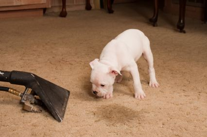 Carpet odor removal in Bellevue by Continental Carpet Care, Inc.